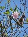 Starr 080609-7890 Tabebuia heterophylla.jpg