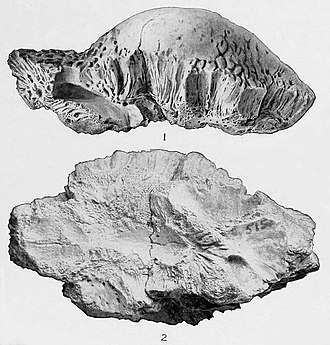 Stegoceras - Partial dome CMN 515, lectotype of S. validum, shown from the right and underside