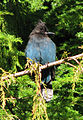 Steller's Jay on Vancouver Island.jpg