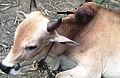 Stephanofilariosis-cattle.jpg