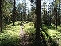 Stig mot solsken i barrskog.jpg
