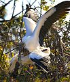 Stork Love again... - Flickr - Andrea Westmoreland.jpg