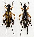 Strangalia maculata (12035866883).jpg