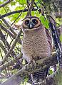 Strix leptogrammica -Surrey Bird Sanctuary, Welimada, Sri Lanka -8a.jpg