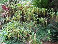 Strophanthus divaricatus1.jpg