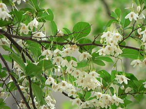 Styrax - Early summer blossoms of Styrax japonicus