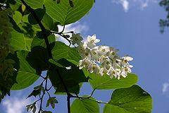 Styrax obassia flowers 002.JPG