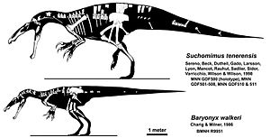 Spinosauridae - Suchomimus and Baryonyx to scale