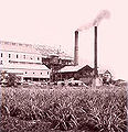 Sugar cane plantation.JPG