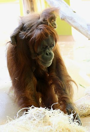 Sumatran orangutan - Female with infant at the Tierpark Hellabrunn, Munich