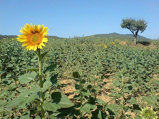SunflowerAlone