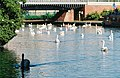 Swans below Park Way Bridge - geograph.org.uk - 127742.jpg