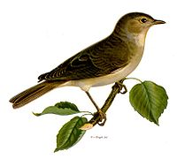 The Garden Warbler provided the title and much of the material for Messiaen's La fauvette des jardins.