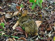 Argentine swamp rat