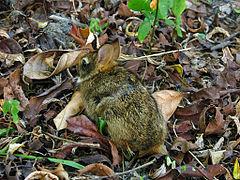 Un lapin chiné de noir et d'ocre jaune avec des yeux noirs et des oreilles moyennes