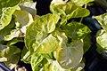 Syngonium podophyllum Golden 3zz.jpg
