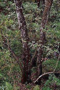 Synoum - large tree Chatswood west.jpg
