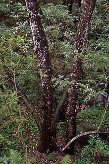 Synoum - large tree Chatswood west.jpg