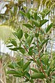 Syzygium caryophyllatum09612.jpg