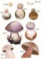 Tab56-Agaricus amethystinus Schaeff.png