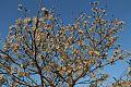 Tabebuia Roseoalba (White Ipe) (28610284140).jpg
