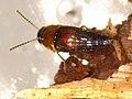 Tachyporus dispar (35946577484).jpg