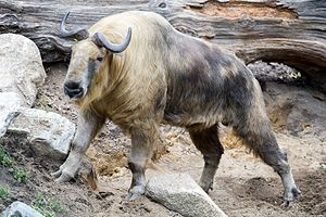 Takin - Takin at Roger Williams Park Zoo in Providence, Rhode Island.