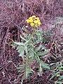 Tanacetum vulgare 107365421.jpg