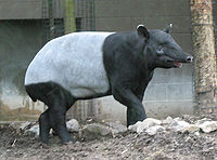 Tapir with outstretched proboscis.jpg