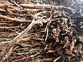 Tapis de racines de platane sous trottoir Platanus root mat under sidewalk Lille northern France 16.jpg