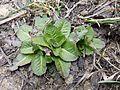 Taraxacum serotinum sl33.jpg