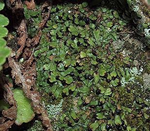 Targionia hypophylla 20100424a.jpg
