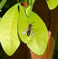 Tawny Mining Bee, male. Andrena fulva - Flickr - gailhampshire.jpg
