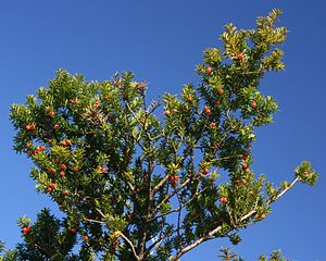 Taxus cuspidata with fruits.JPG