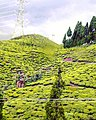 Tea Garden on the way to Mirik.jpg