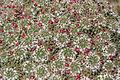 Teguise Guatiza - Jardin - Mammillaria compressa 05 ies.jpg