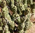 Tephrocactus articulatus 4.jpg