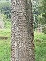 Terminalia elliptica - Begur, Wayanad 03.jpg