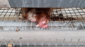 Tesco-brand eggs investigation, 2019 - dead hen rotting in cage with live birds.png