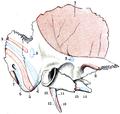 Testut's Treatise on Human Anatomy (1911) - Vol 1 - Fig 166.png