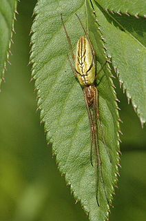 <i>Tetragnatha</i> genus of arachnids