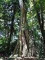Tetrameles nudiflora at Kottiyoor 01.jpg