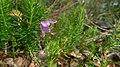 Tetratheca neglecta (6402089413).jpg