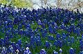 Texas blue bonnets (13832166985).jpg