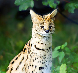 The Beautiful Serval.jpg