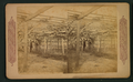 The Big grape vine, Santa Barbara, from Robert N. Dennis collection of stereoscopic views.png