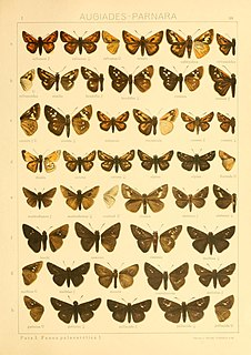<i>Eogenes alcides</i> species of insect