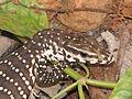 The Monitor Lizard (Juvenile) Varanus bengalensis.JPG