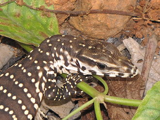 Bengal monitor - Juveniles are patterned and more colourful