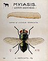 The larva and fly of a greenbottle (Lucilia sericata). Colou Wellcome V0022570.jpg